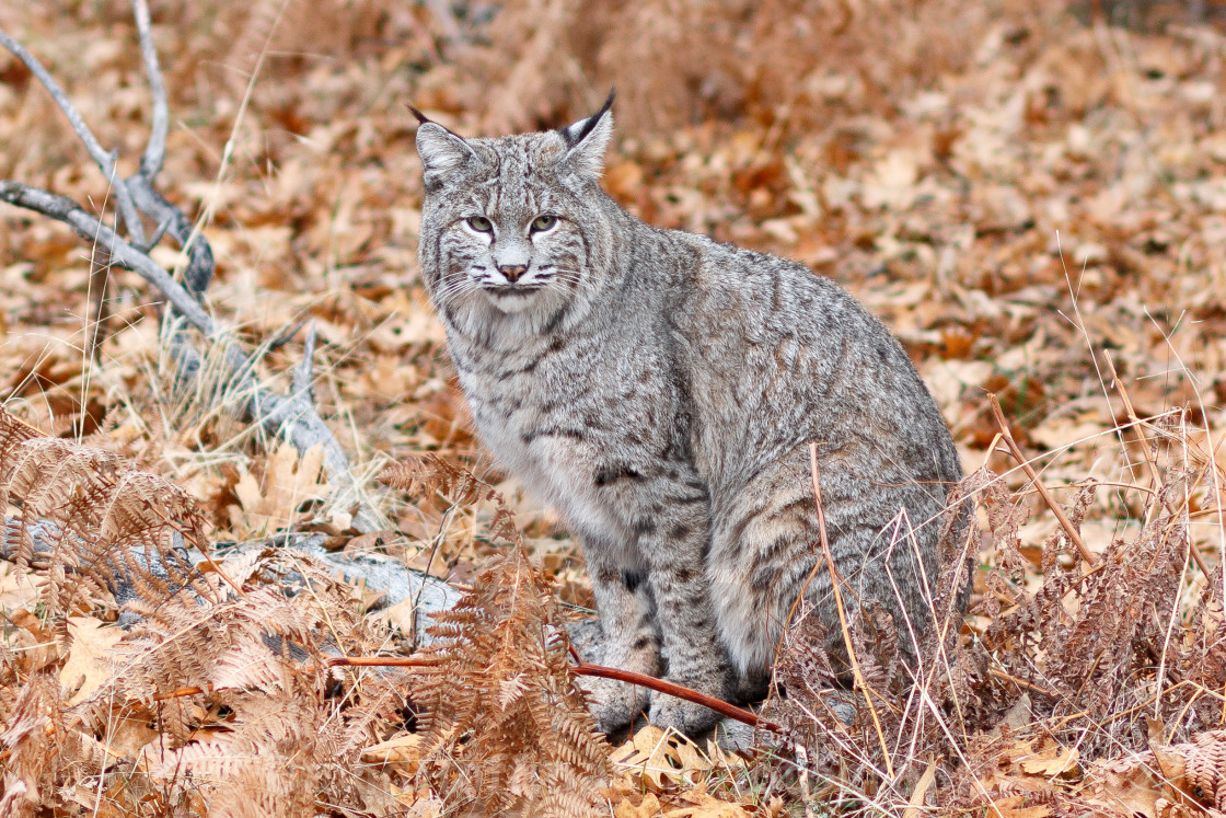 """Bobcat hunting"" stock image"