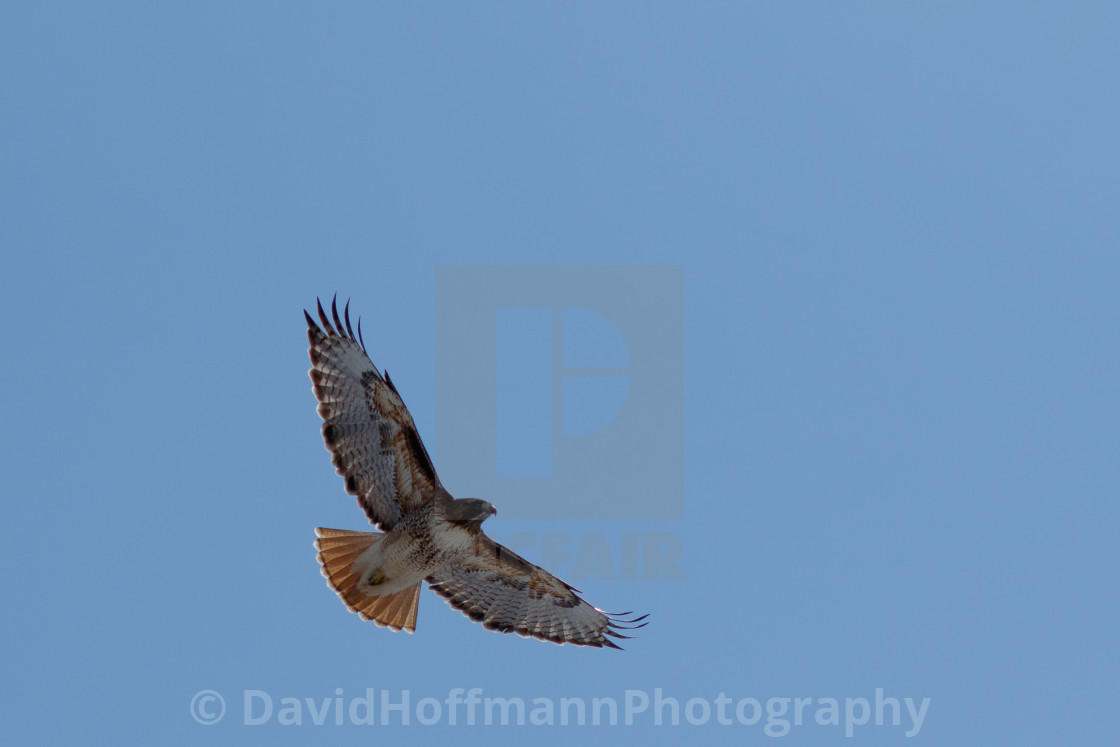"""""""Red-tailed hawk in flight"""" stock image"""