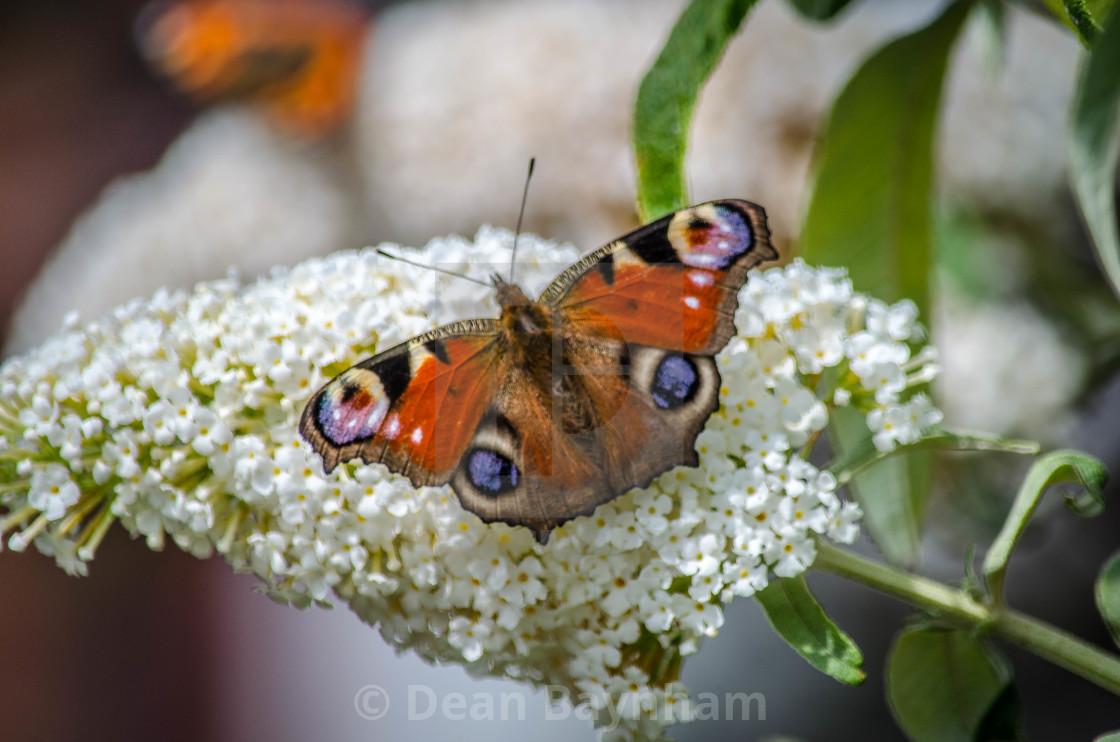 """Butterflies"" stock image"