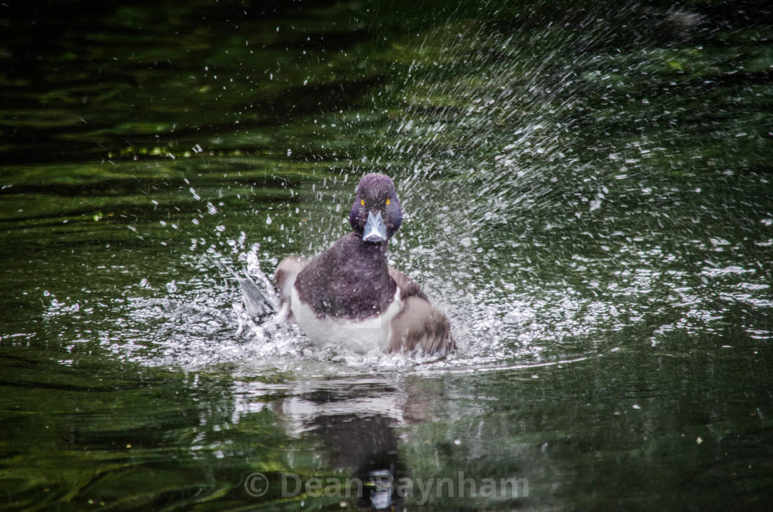 """Diving Duck"" stock image"