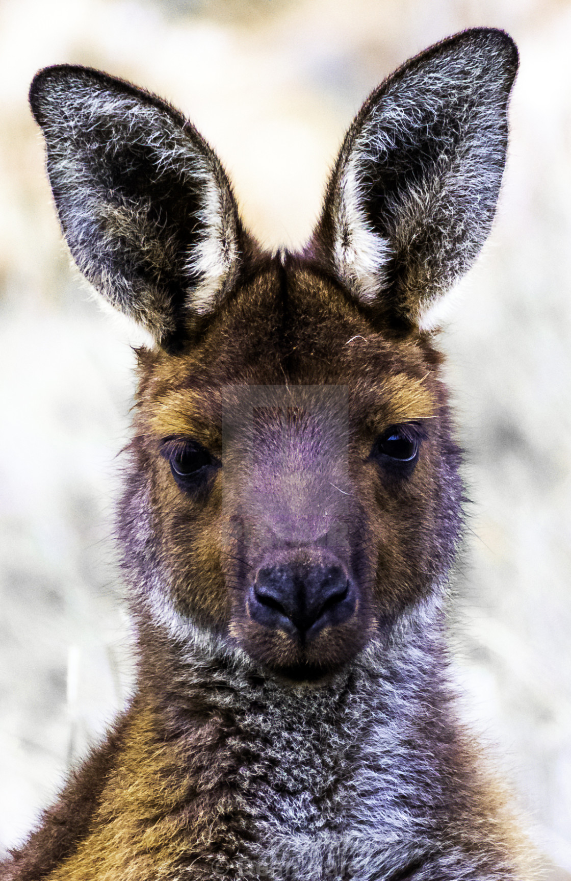 """Male Kangaroo Portrait King of the Mob"" stock image"
