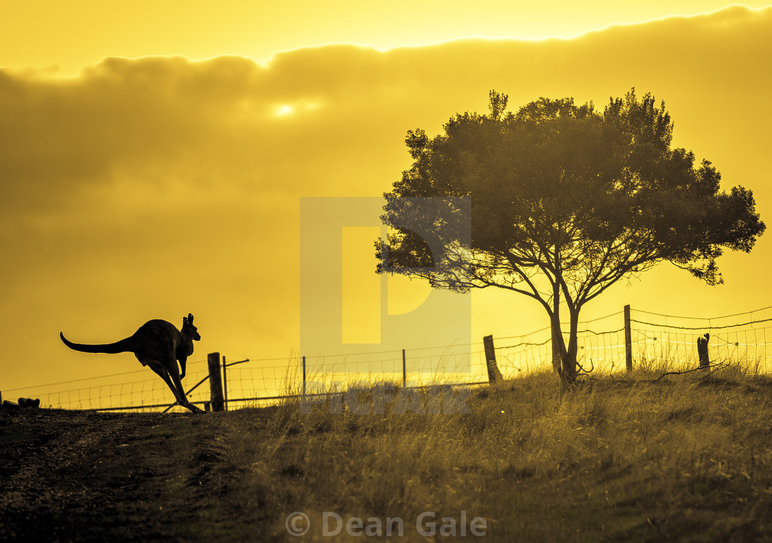 """A kangaroo running at sunset"" stock image"
