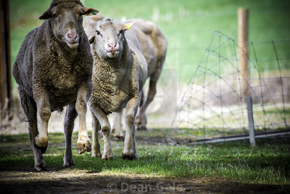 """Running Sheep Humorous"" stock image"