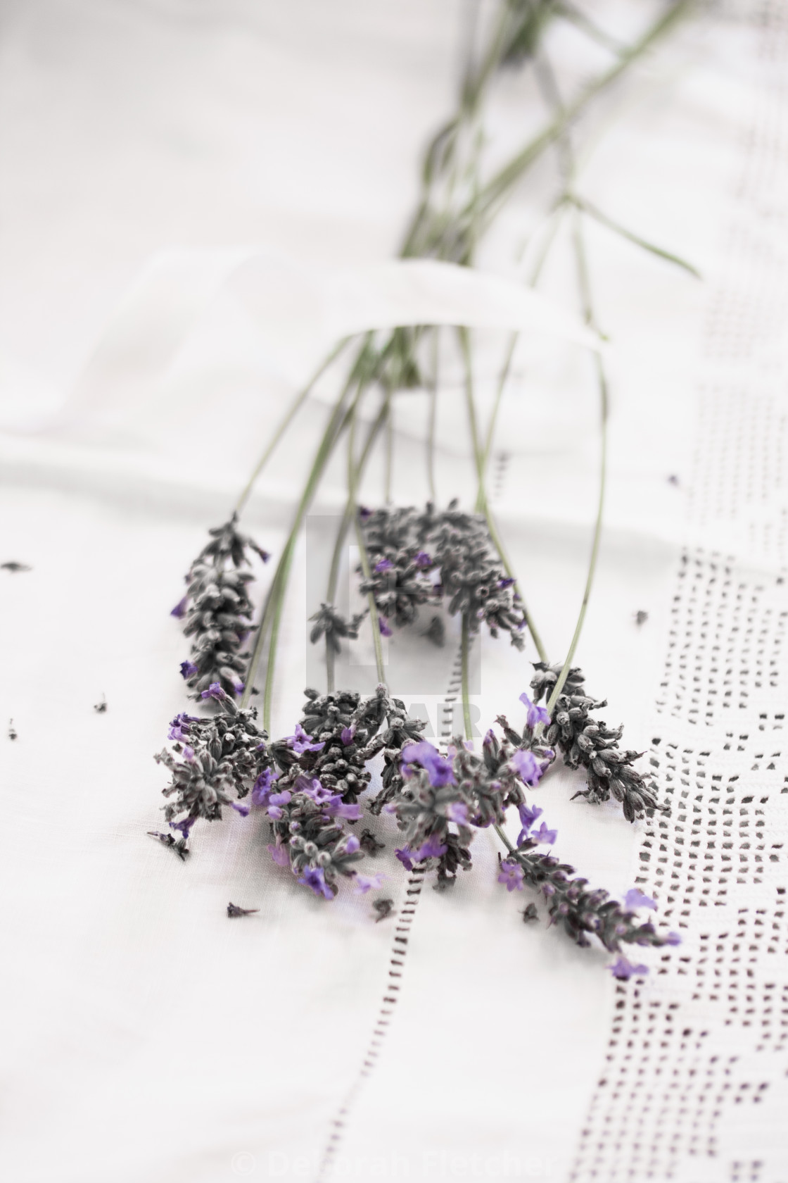 """Lavender and Lace"" stock image"