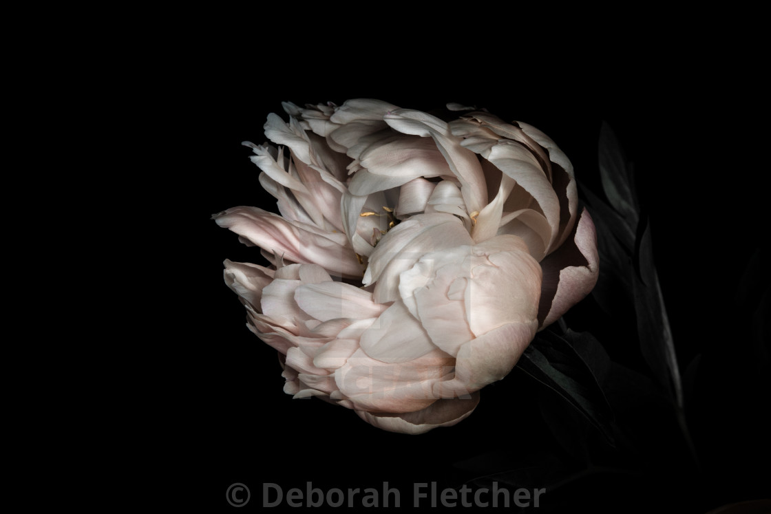 """Single Peony"" stock image"