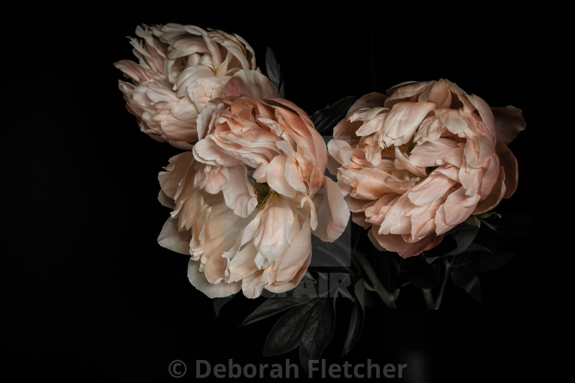 """""""Coral Peonies"""" stock image"""