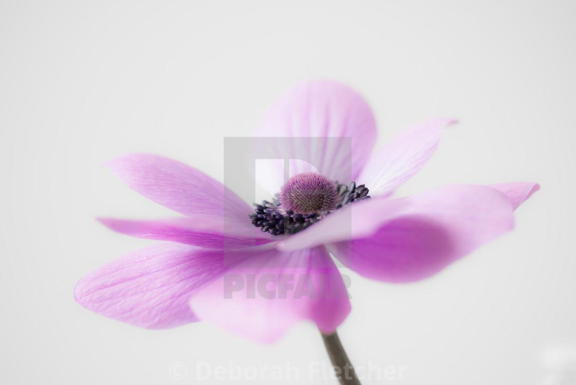"""Pink Anemone"" stock image"
