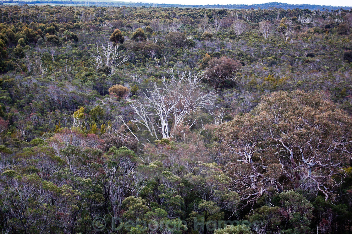 """Ghost Gums In Dense Bushland"" stock image"
