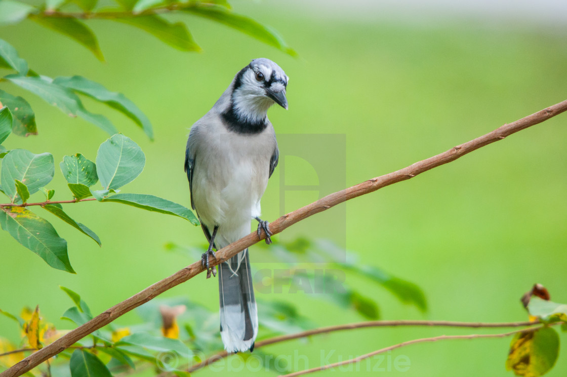 """BlueJay on Branch"" stock image"