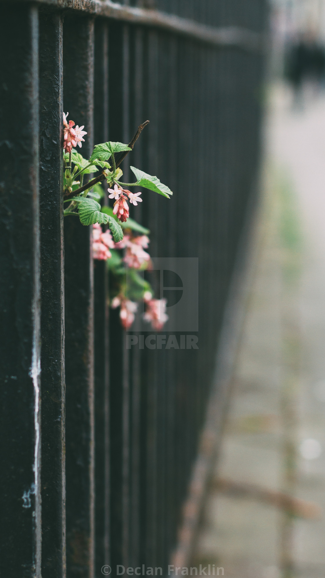 """""""Pink flowers through a fence"""" stock image"""