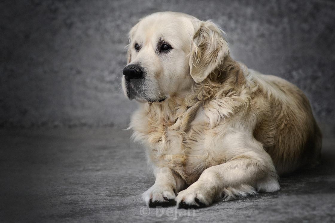 O Dog Hairstyle: Labrador Retriever Long Hair Dog