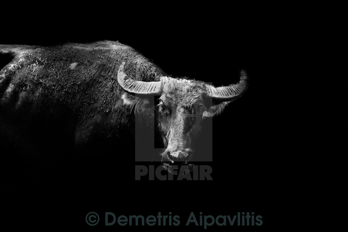 """The bull is watching you"" stock image"
