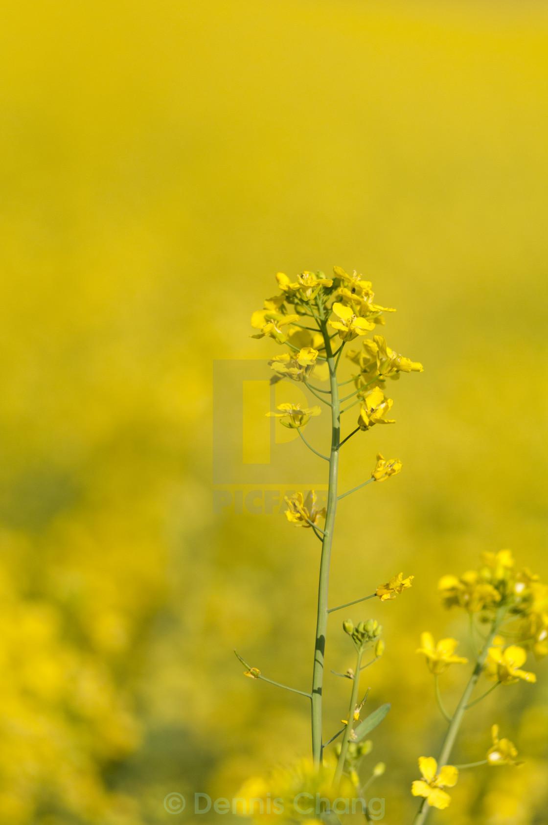 """Rapeseed flower"" stock image"