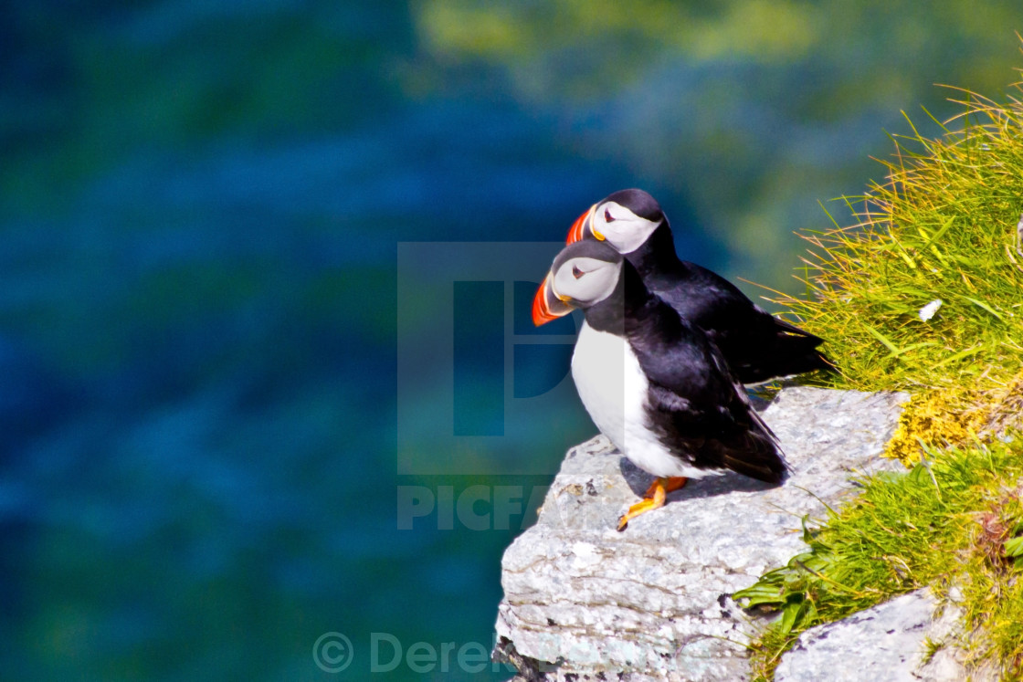 """Two Puffins Perching"" stock image"