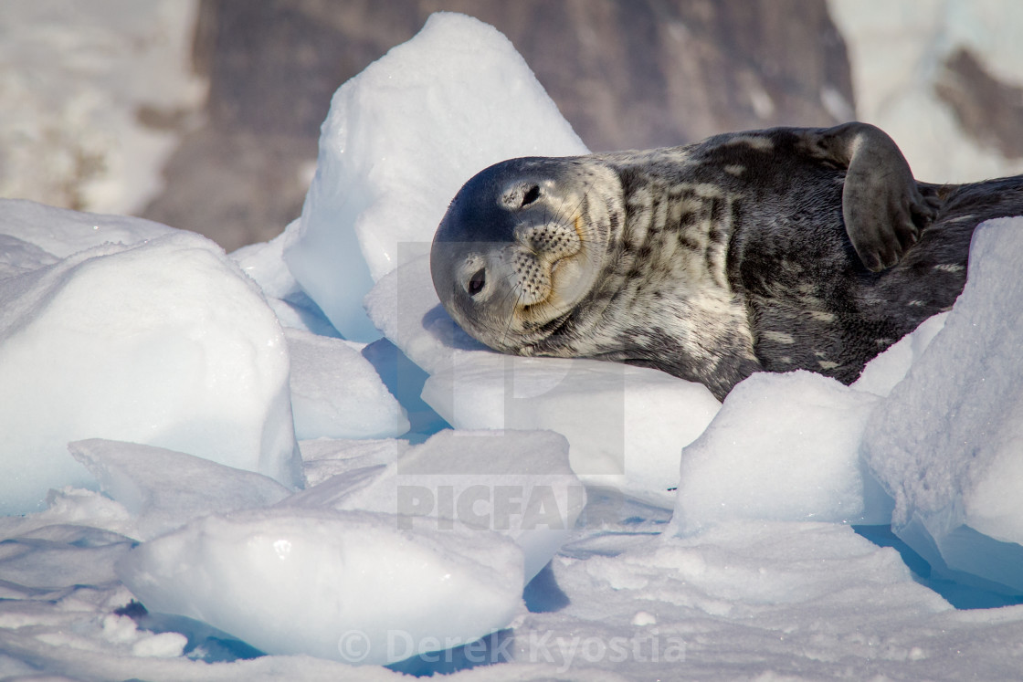 """""""Resting weddell seal."""" stock image"""