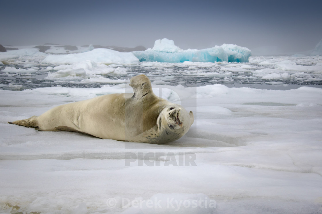 """Crabeater seal, Vernadsky"" stock image"