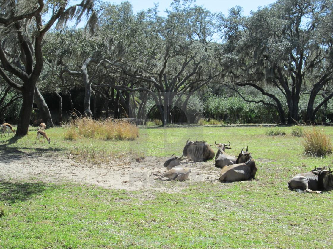 """Wildebeests & Gazelles"" stock image"