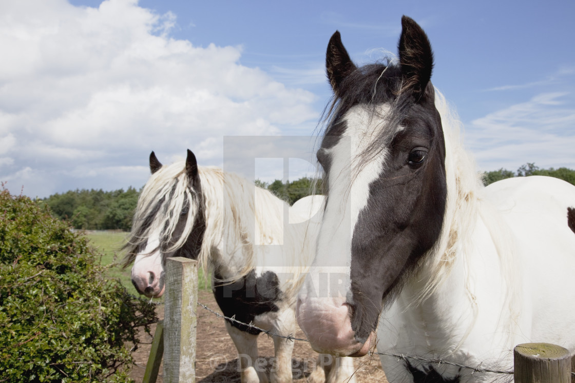"""""""Horses Looking Over A Fence"""" stock image"""