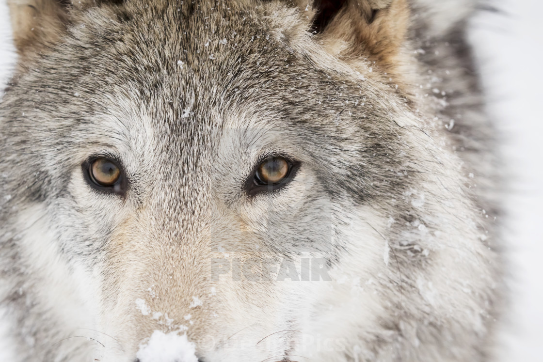 """Captive: Close Up Of The Face Of A Female Tundra Wolf, Alaska Wildlife..."" stock image"