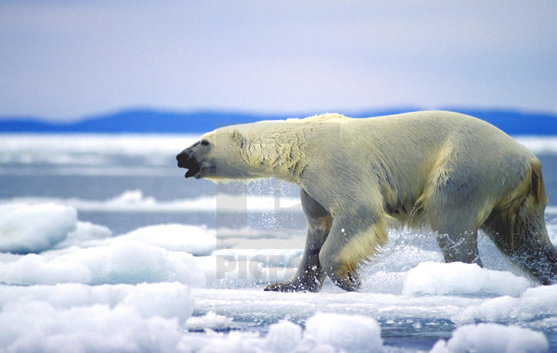 Polar Bear Running On An Ice Flow In Wager Bay, Canada