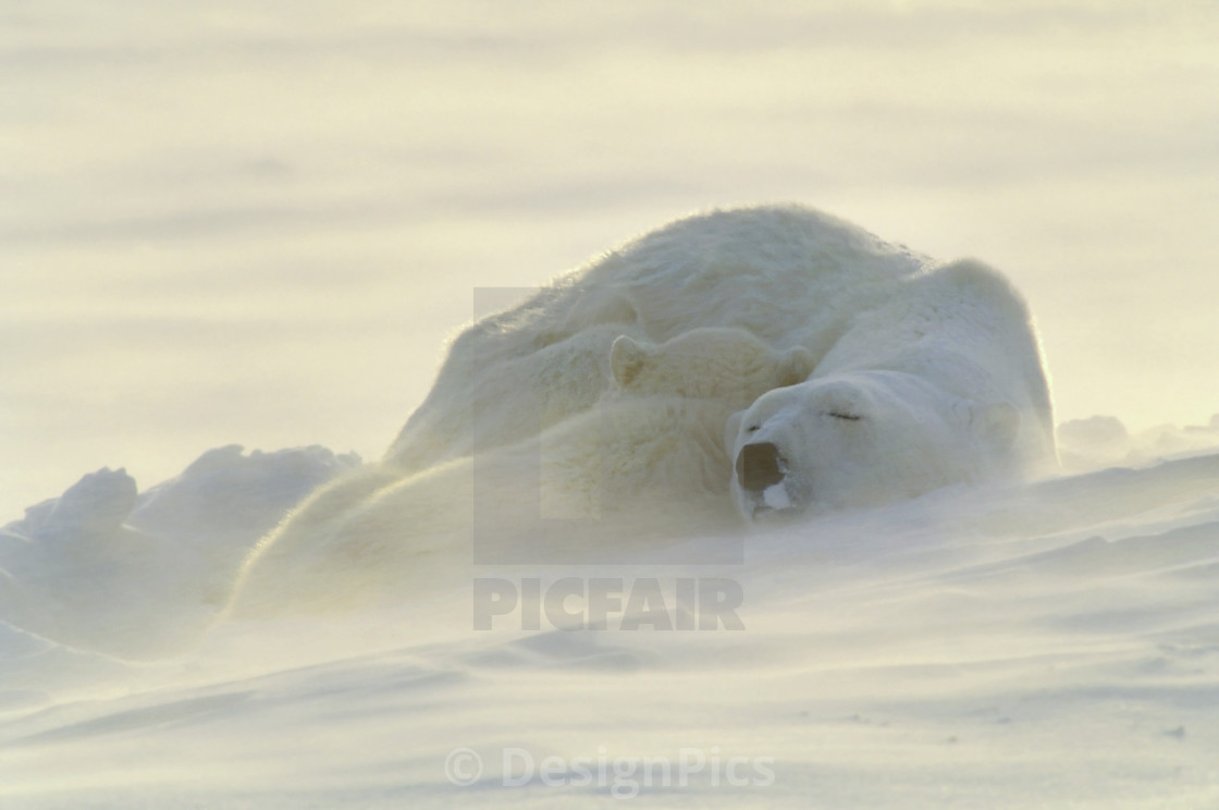"""Polar Bears Sleeping At Sunset"" stock image"