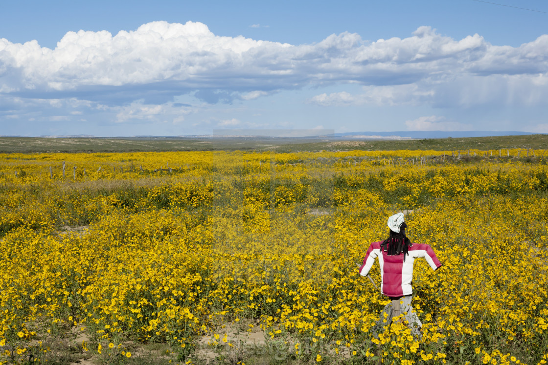 Scarecrow In Field Blooming With Yellow Flowers On The Plains Of
