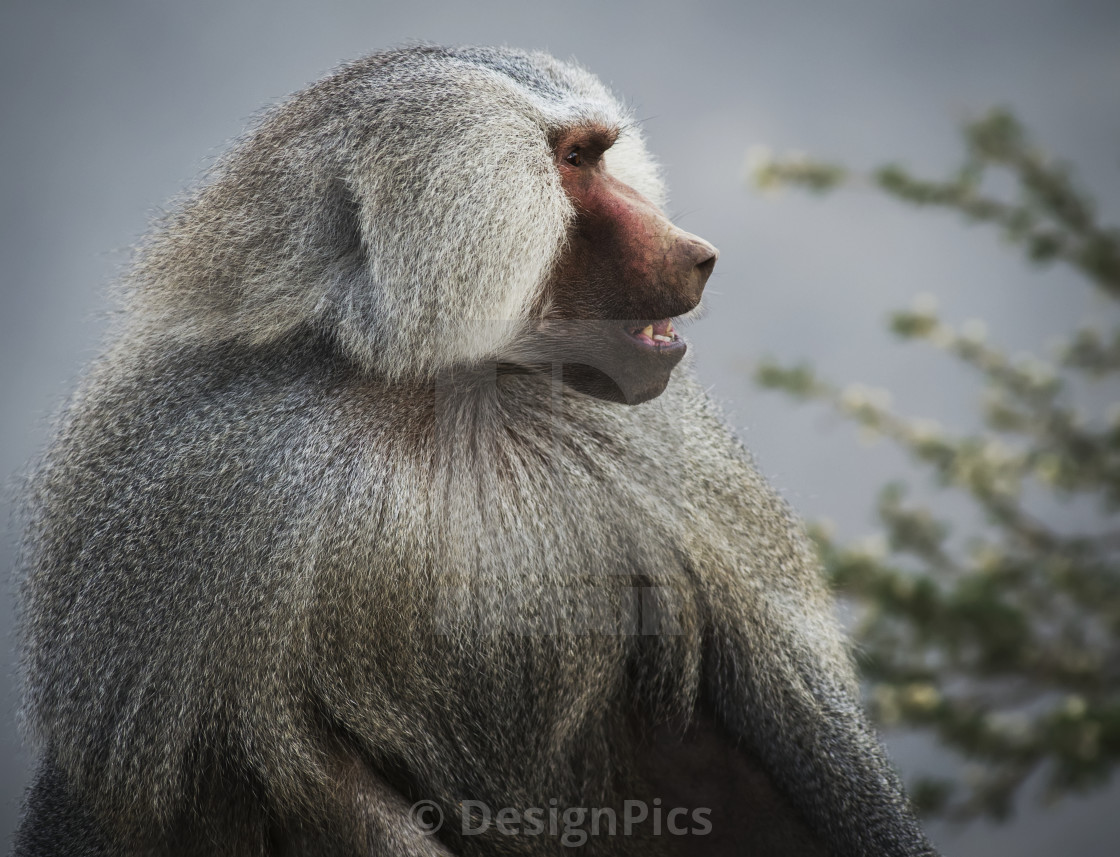 """Mountain Baboon; Taif, Saudi Arabia"" stock image"