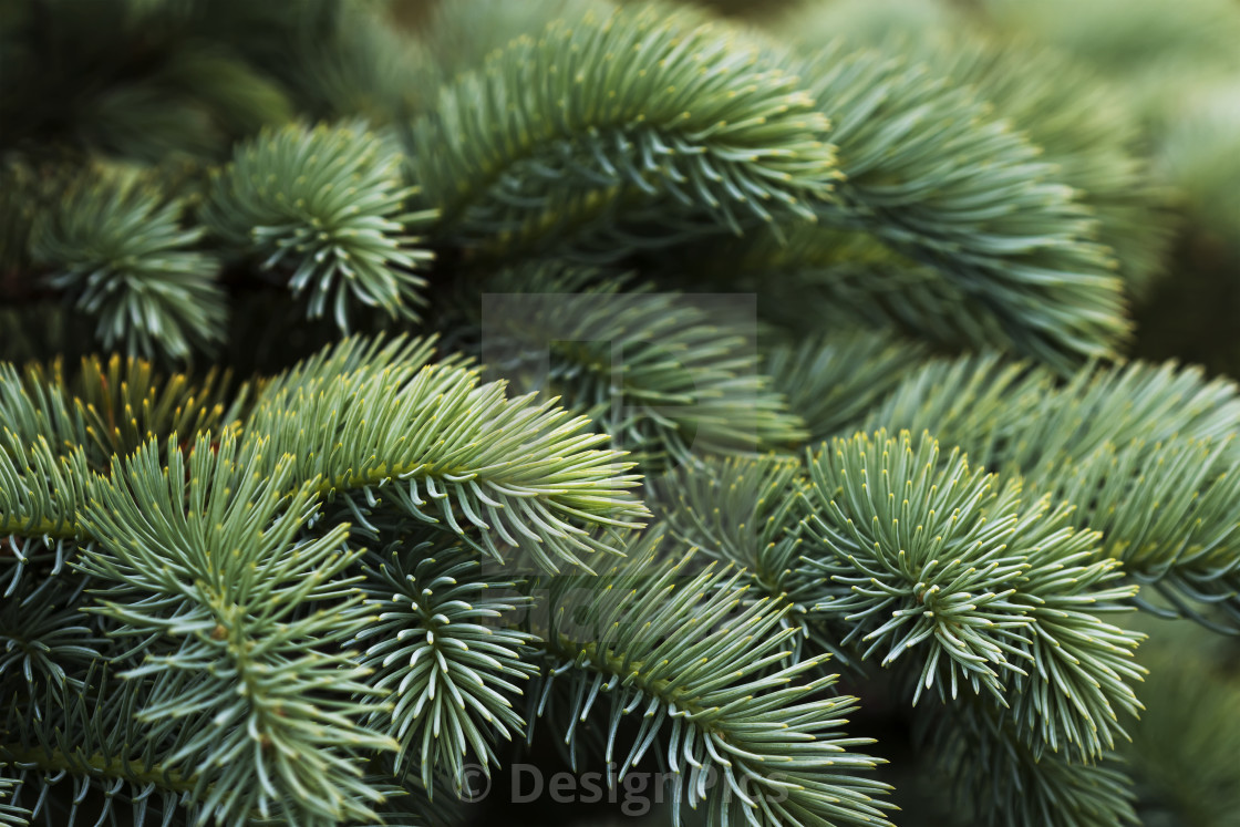 Close Up Of Norway Spruce Picea Abies Needles A Popular Choice