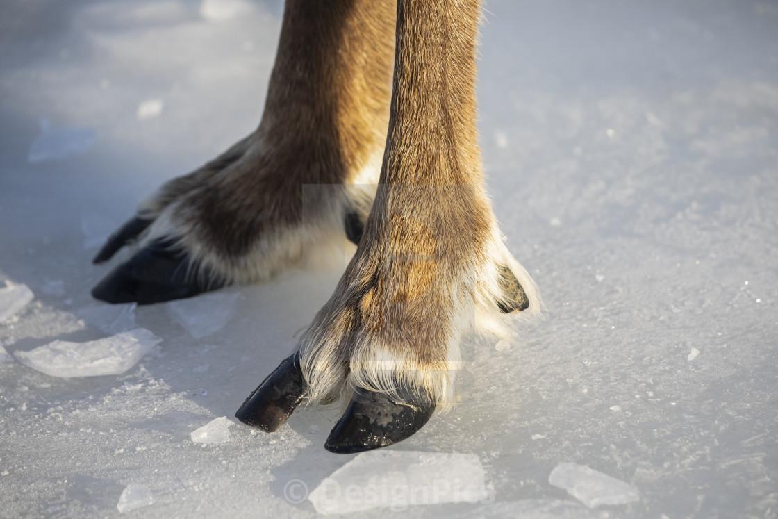 """Bull Caribou (Rangifer tarandus) hooves on ice, captive Caribou, Alaska..."" stock image"