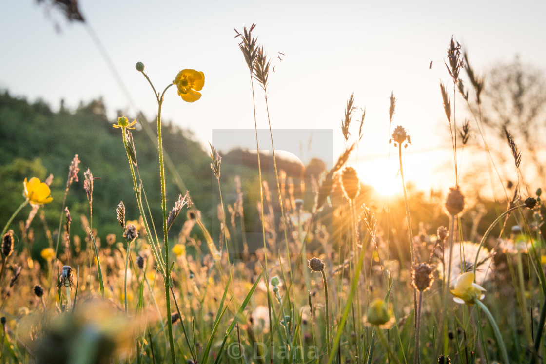 """Meadow flowers, Wales"" stock image"