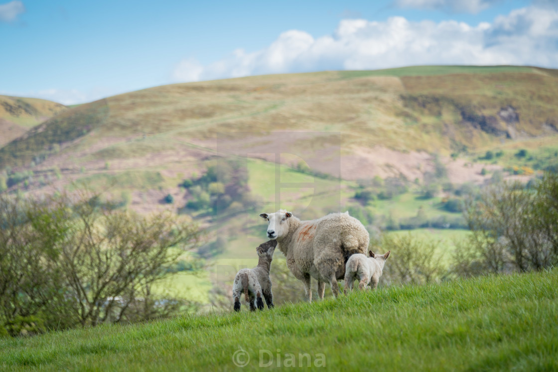 """Sheep with lambs"" stock image"