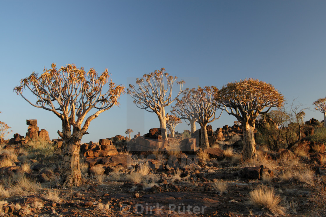 """Quiver Trees"" stock image"