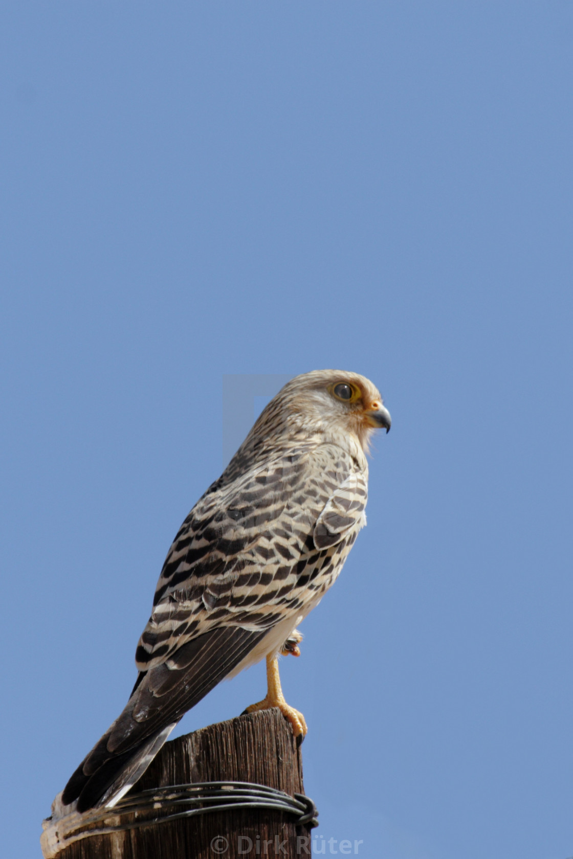 """Greater Kestrel (Falco rupicoloides)"" stock image"