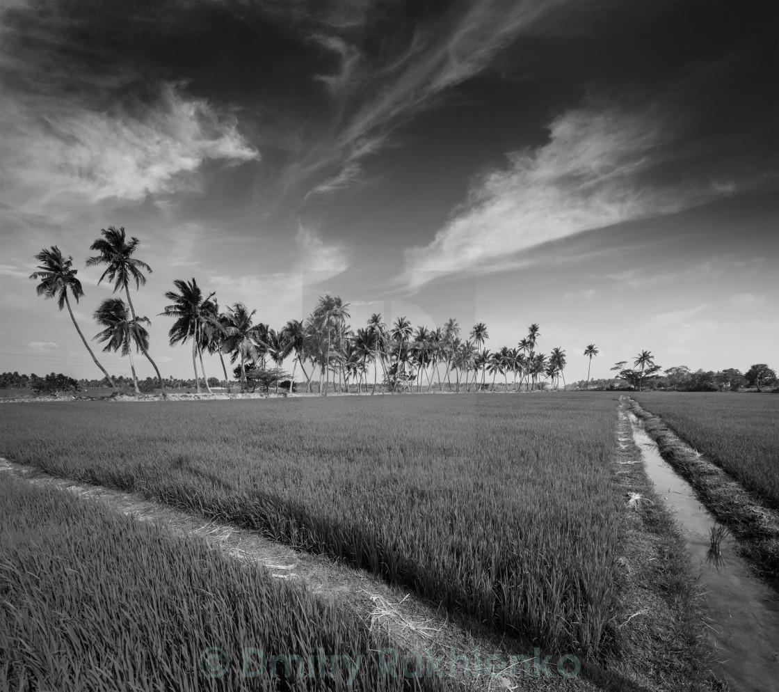 Rural indian scene rice paddy field and palms tamil nadu india