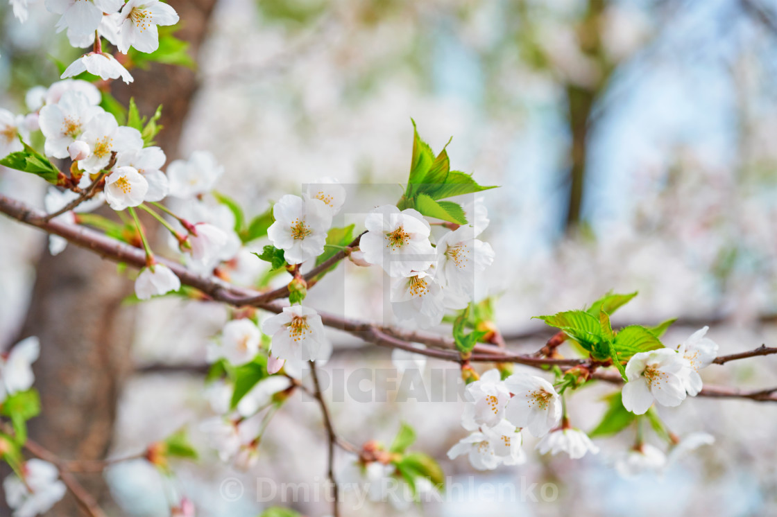 """Blooming sakura cherry blossom"" stock image"
