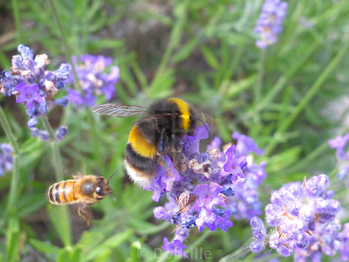 """""""Bumblebee and honey bee collecting pollen on lavender flowers"""" stock image"""
