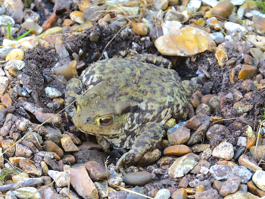 """Toad in hiding in the gravel"" stock image"