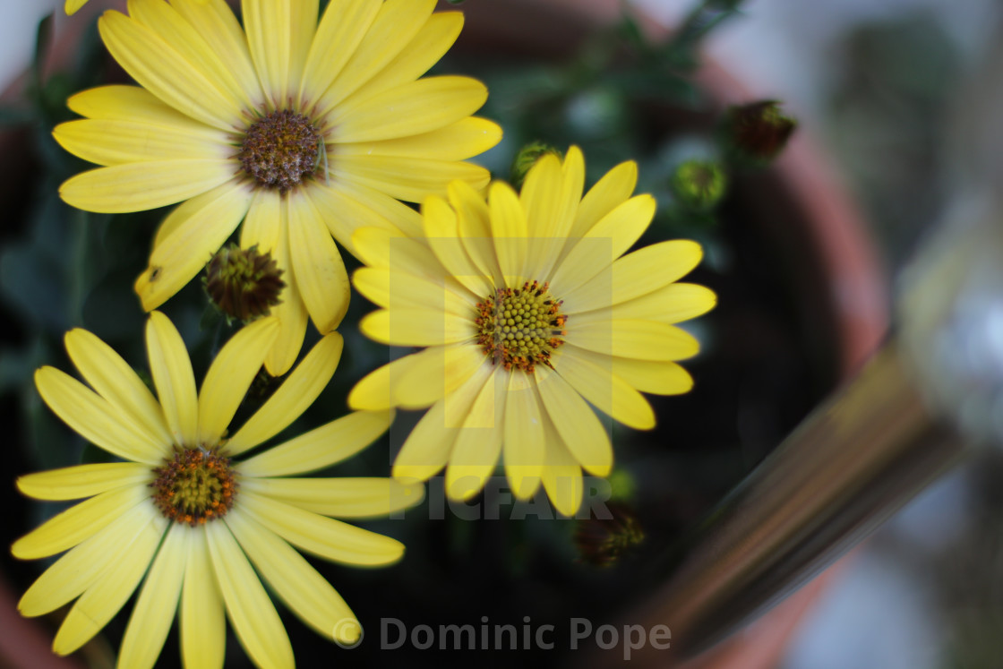 Daisy type flower yellow license for 3100 on picfair daisy type flower yellow stock image izmirmasajfo