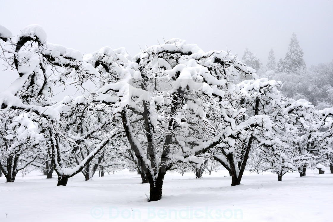"""Dormant Orchard Covered In Snow"" stock image"