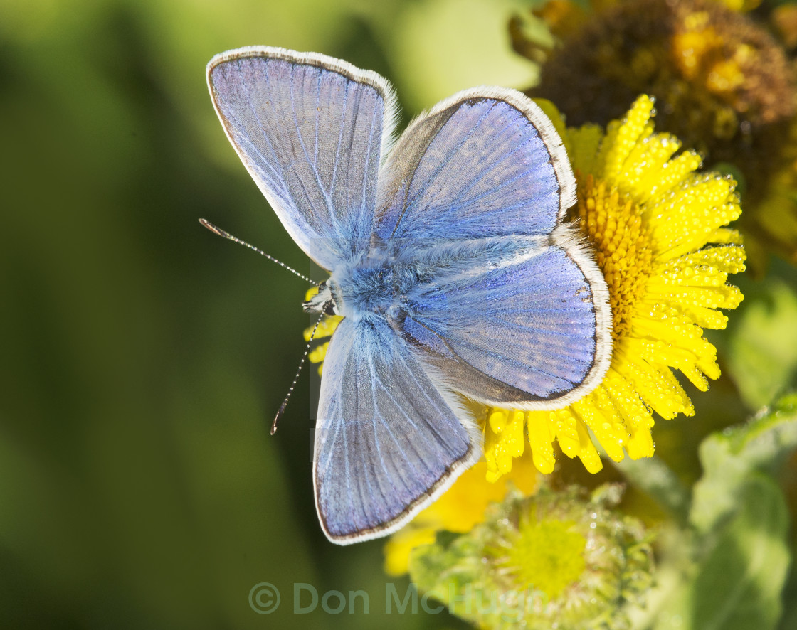 """""""Common Blue Butterfly (Polommatus icarus) (III)"""" stock image"""