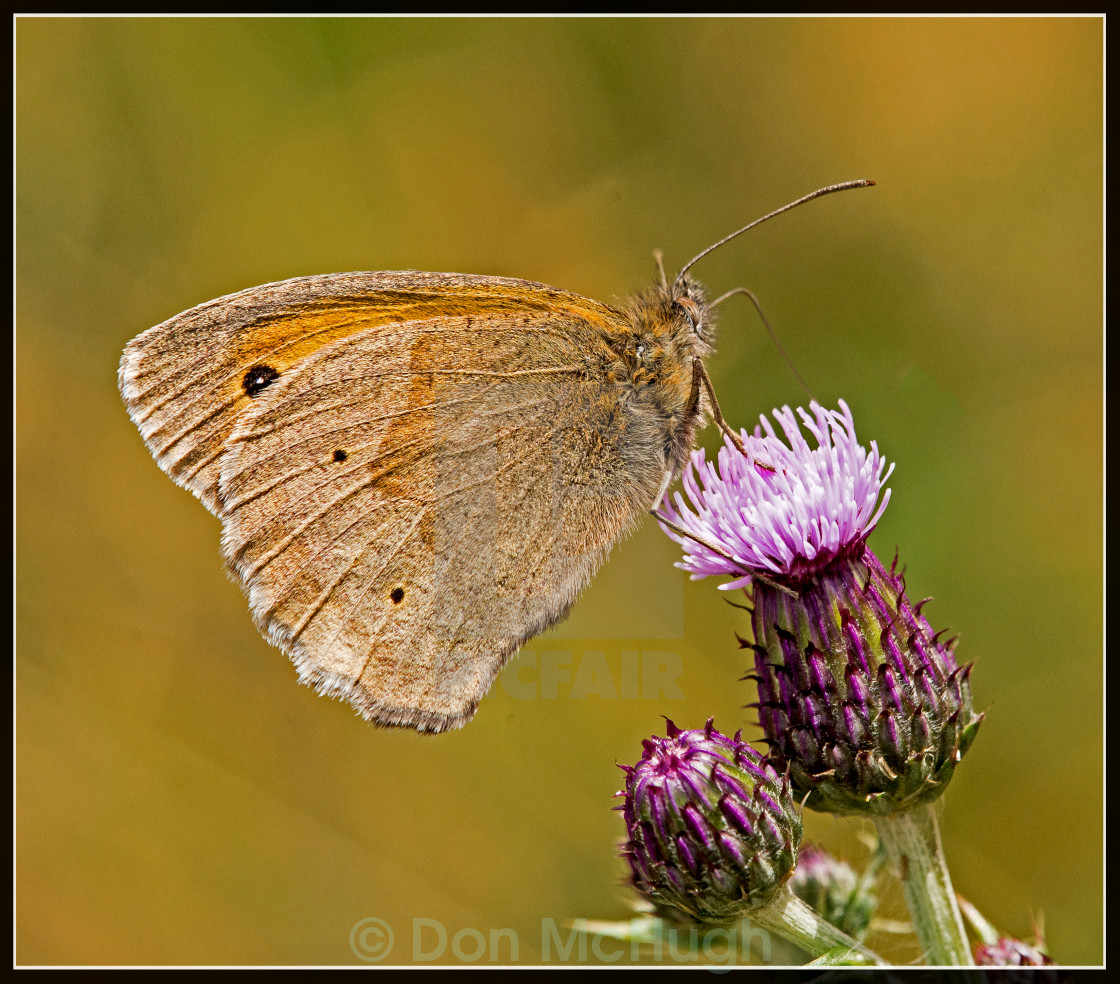 """Butterfly Meadow Brown (Maniola jutina) (II)"" stock image"
