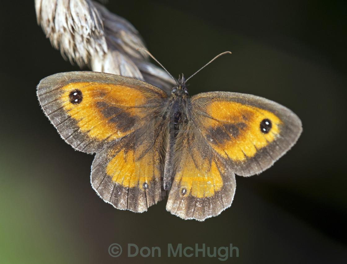 """""""Gatekeeper Butterfly (Maniola tithonus) (III)"""" stock image"""