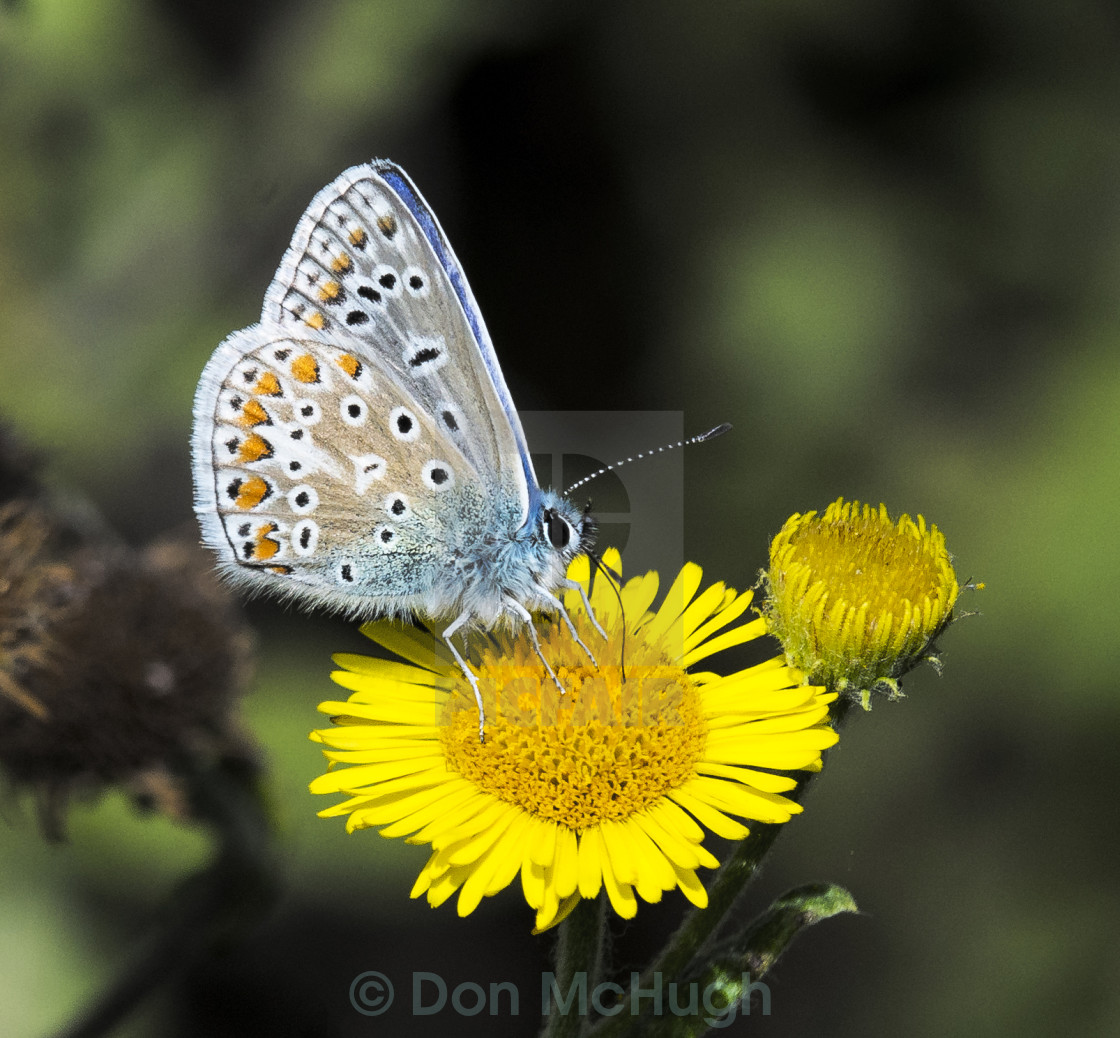 """""""Common Blue Butterfly ( Polommatus icarus ) (III)"""" stock image"""
