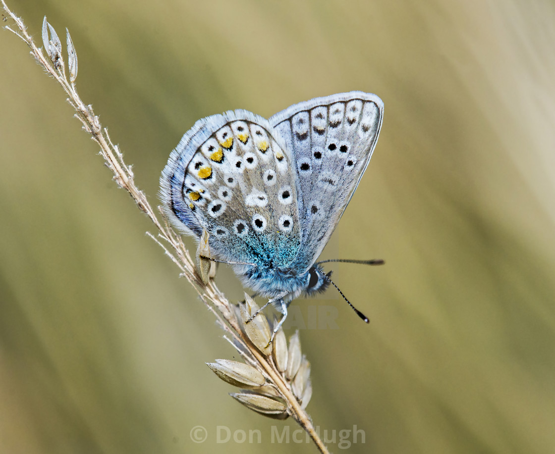 """Common Blue (Polyommatus icarus) (III)"" stock image"
