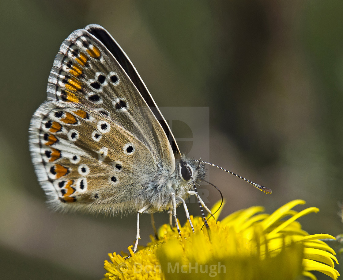 """Brown Argos (Aricia agestis( (III)"" stock image"