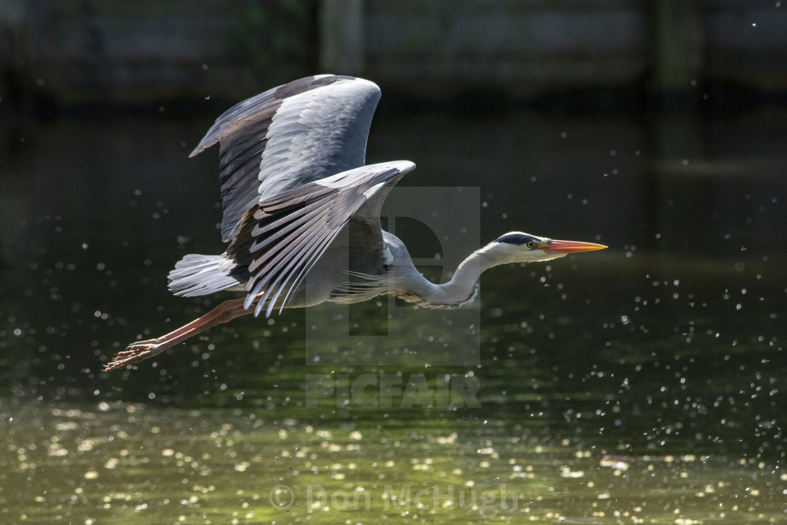 """Grey Heron (Ardea cinerea) (I)"" stock image"