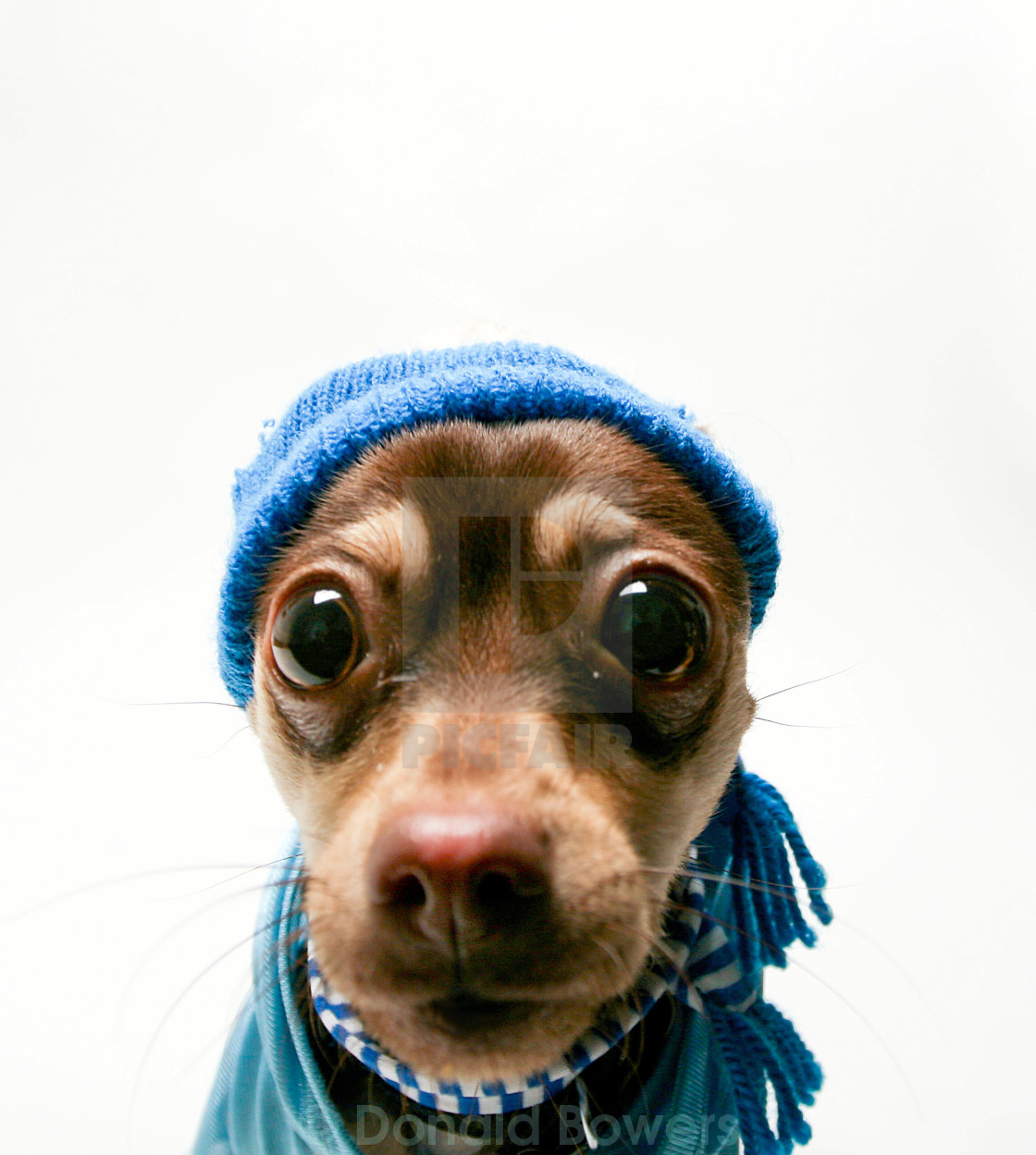 """Puppy Chihuahua"" stock image"