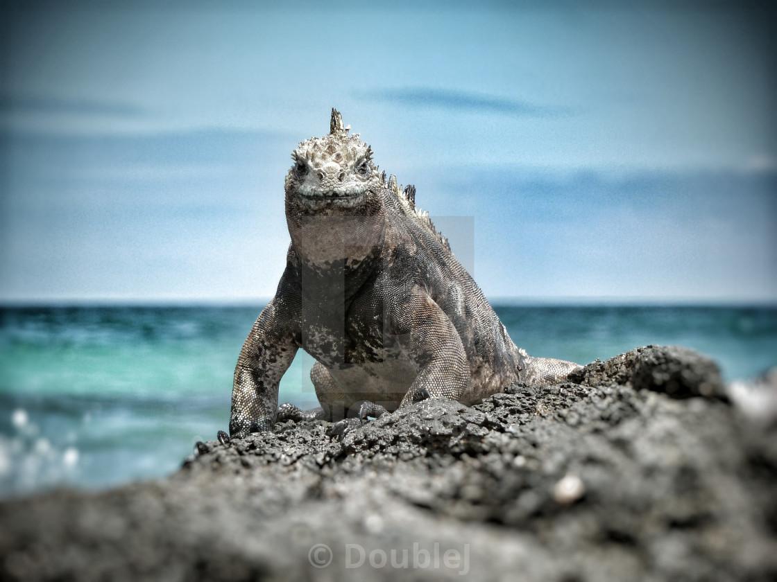 """""""Marine Iguana"""" stock image"""