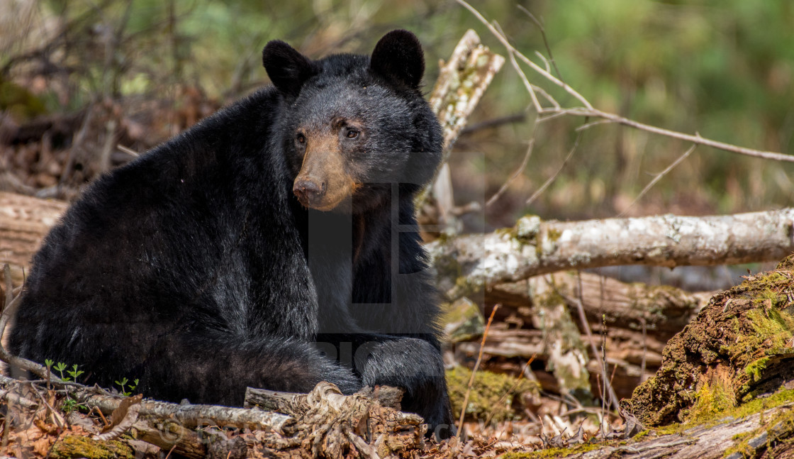 """Tired Momma Bear"" stock image"