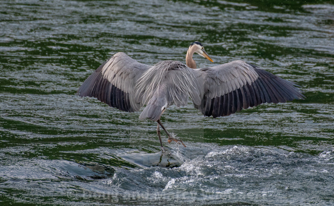 """Blue Heron Dance"" stock image"